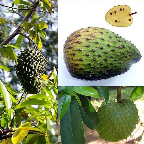 Resultado de imagen para Si desea disfrutar de las ventajas de afirmación de la salud de la guanábana, haciendo un té de las hojas es un buen lugar para comenzar